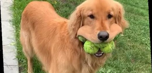 Golden Retriever fits SIX tennis balls in mouth to break world record