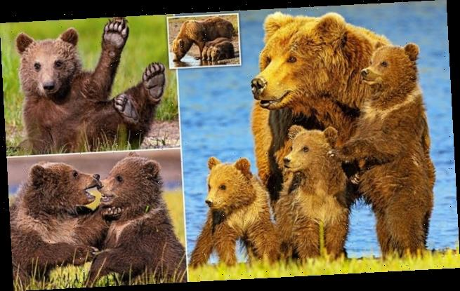 Brown bears enjoy family life to the full in Katmai National Park