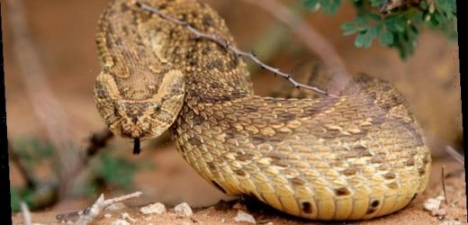 Man becomes 'first ever to suffer a venomous snakebite in Ireland'