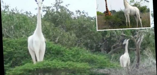 World's only female white giraffe and her calf killed by poachers in Kenya leaving just one of the rare creatures alive