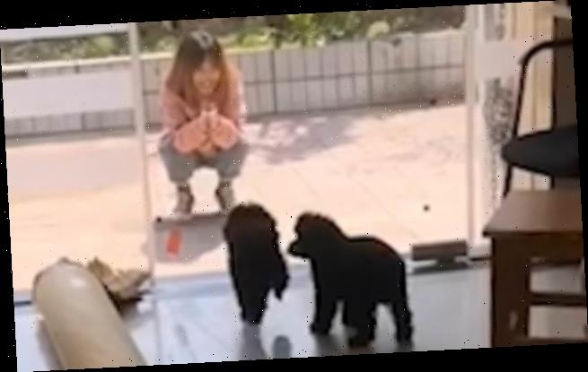 Two tiny dogs run head-first into a glass door one after the other