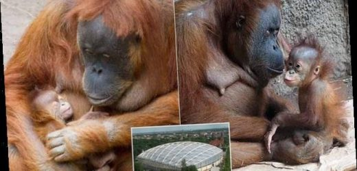 Baby orangutan 'may have died of coronavirus' at German zoo