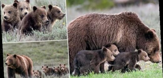 Grizzly bear super-mom gives birth to her 17th cub