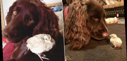 Cocker spaniel becomes 'surrogate mother' to orphan quail chick