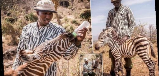 Keepers dress up as orphaned zebra's mother