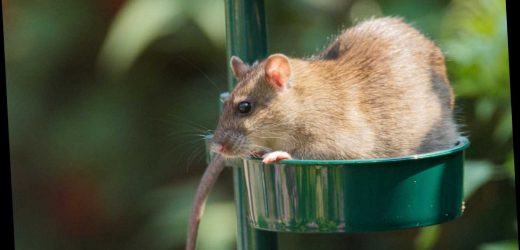 How to get rid of rats, what do they like to eat and how to catch them – from poison and cages to homemade traps