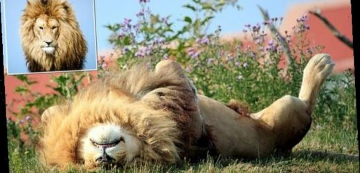 Big cat takes it easy in the summer sun at Doncaster wildlife park
