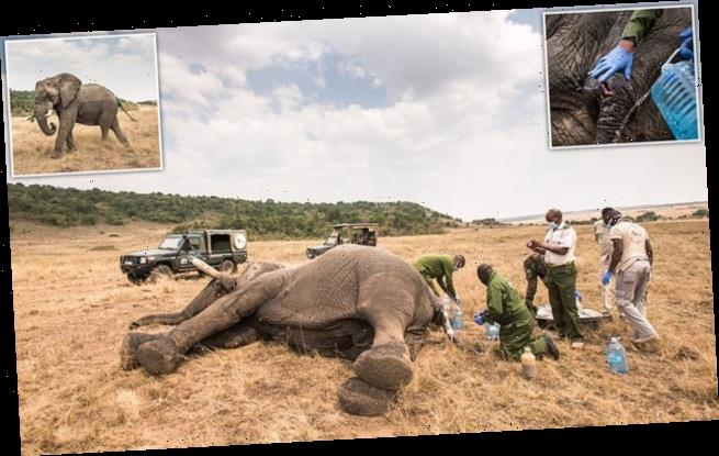 Elephant's life is saved after it was speared in Kenya