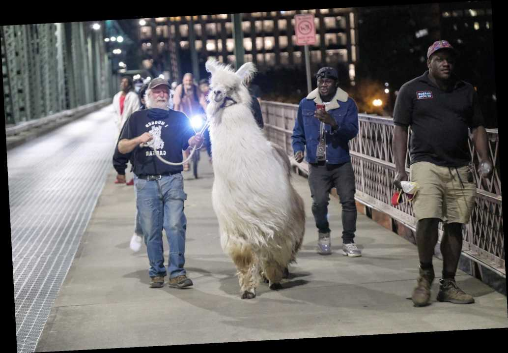 Caesar the 'No Drama Llama' Works to Keep the Peace and Comfort People at Portland Protests