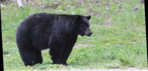 Canada bear kills woman on phone with dad, as son witnesses from cabin