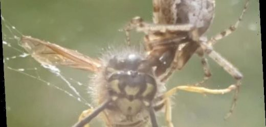 Spider rips the head off a live wasp trapped in its web