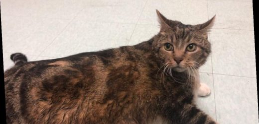Lasagna the Fat Cat Adopted as Stouffer's Sweetens the Pot