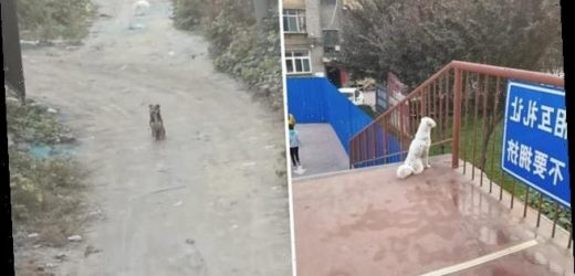 Faithful dog friends won't stop waiting for each other