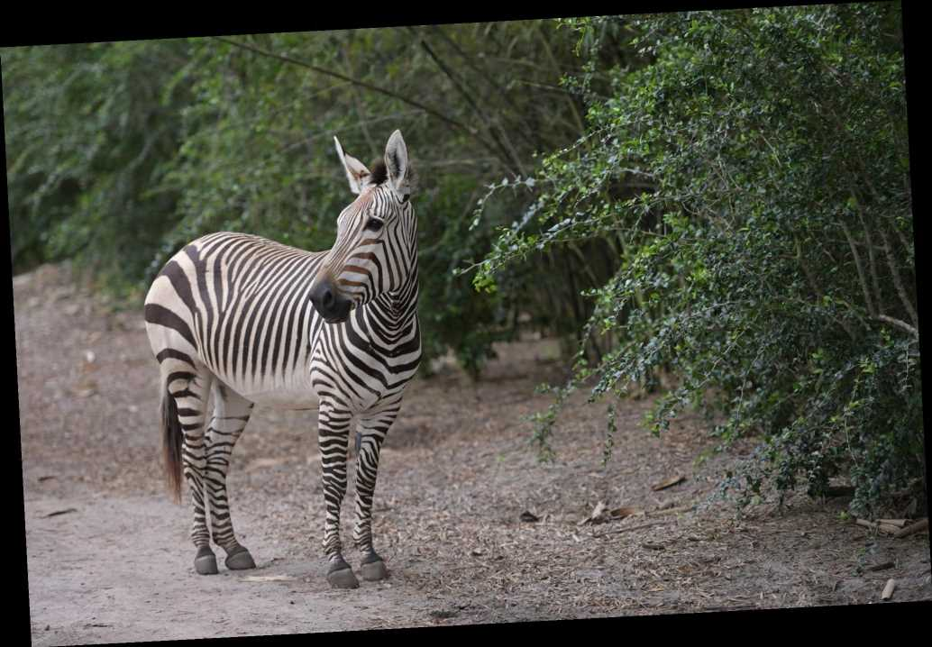 Adorable Baby Zebra Surprises Disney's Animal Kingdom by Arriving Overnight