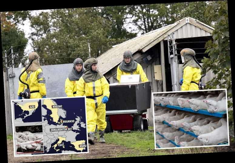 Covid linked to mink farms in SIX countries with outbreaks in US, Spain and Italy after mutant strain found in Denmark