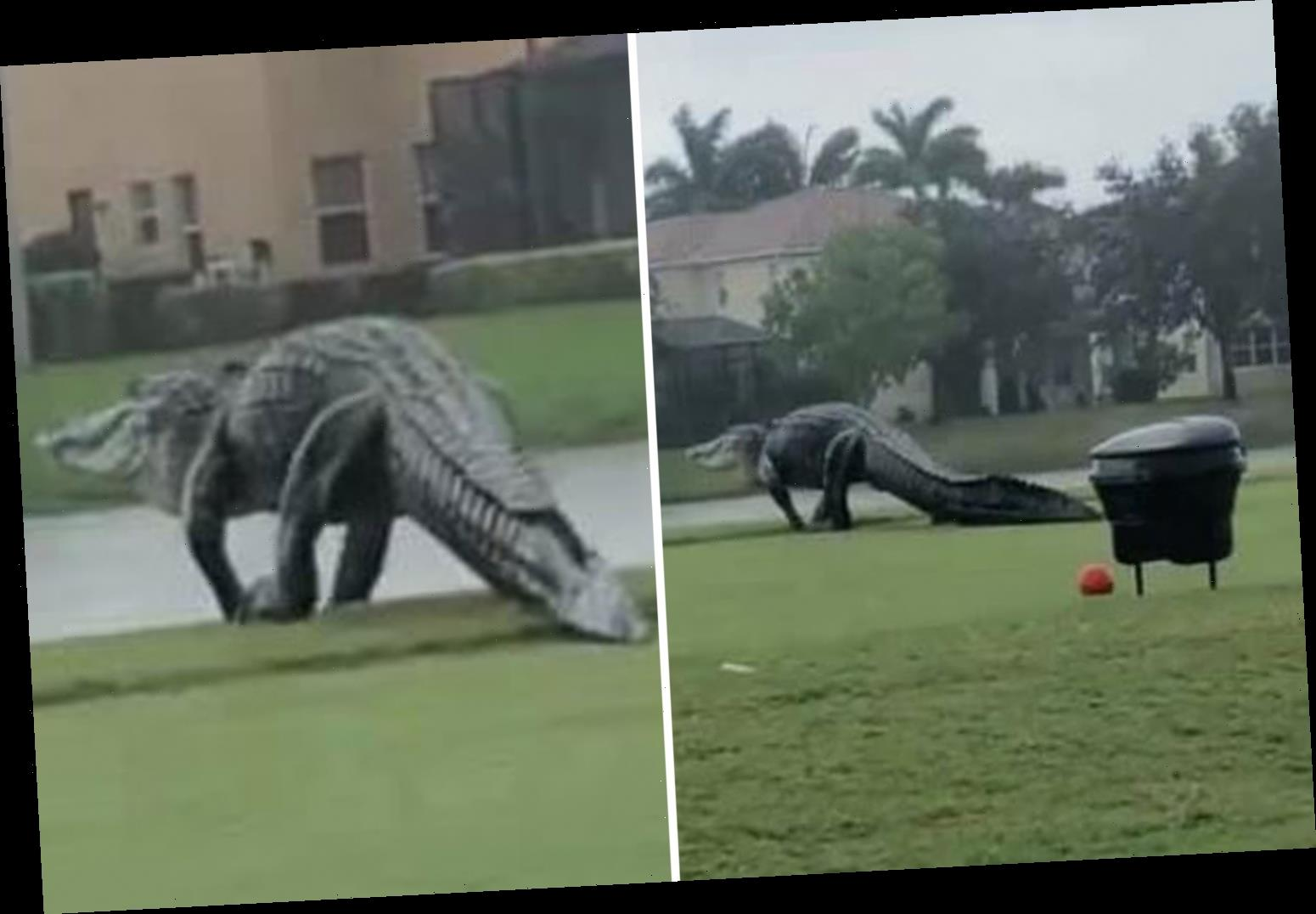 Watch giant alligator stroll across Valencia golf course in Florida as fans worry that Godzilla is real