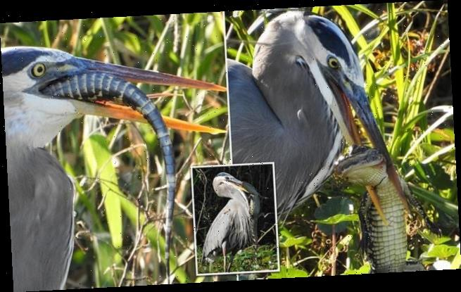 Amazing images show Great Blue Heron devouring baby alligator