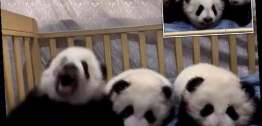 Cute baby panda suddenly sneezes while lying next to her playmates