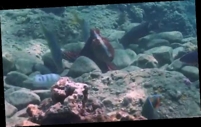Octopuses filmed randomly PUNCHING fish 'out of spite' while hunting