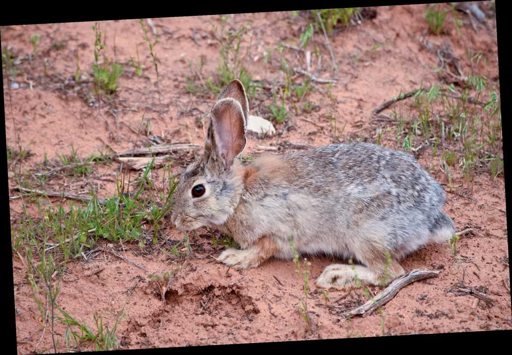 Utah officials warn of outbreak of highly contagious rabbit  disease