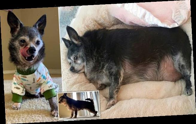 Chubby Chihuahua who weighed 18lbs loses more than HALF his body weigh
