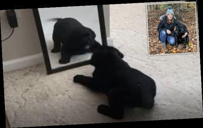 Puppy barks at a mirror as he mistakes his reflection for another dog