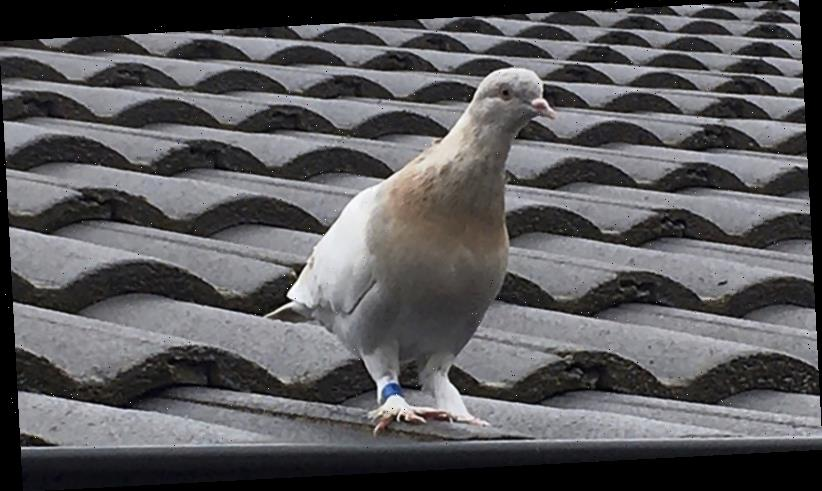 Australia to kill pigeon that crossed the Pacific Ocean from the United States
