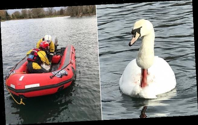 Horror as badly injured swan is rescued by the RSPCA