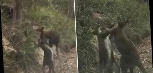 Two boxing kangaroos stage epic death match on side of Tasmanian road