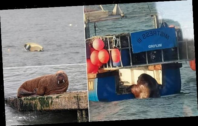 Wally the wandering walrus capsizes dinghy in Tenby