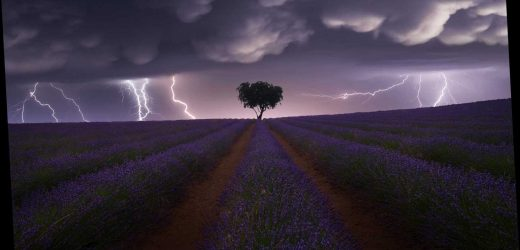 Electrical storm in lavender field and a marching army of sheep among the winners in Sony World Photography competition