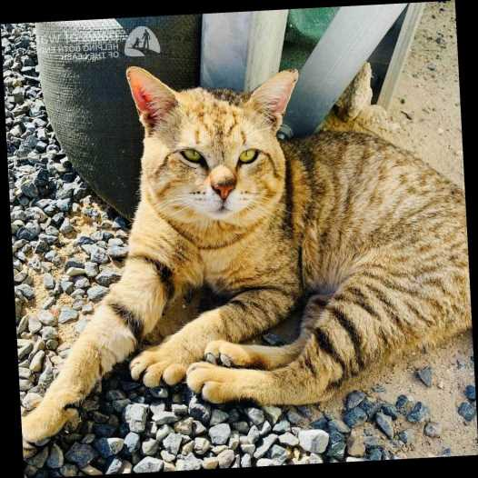 Army SergeantNeeds Help Adopting the 'Wonderful' Stray Cat She Rescued While Serving Overseas