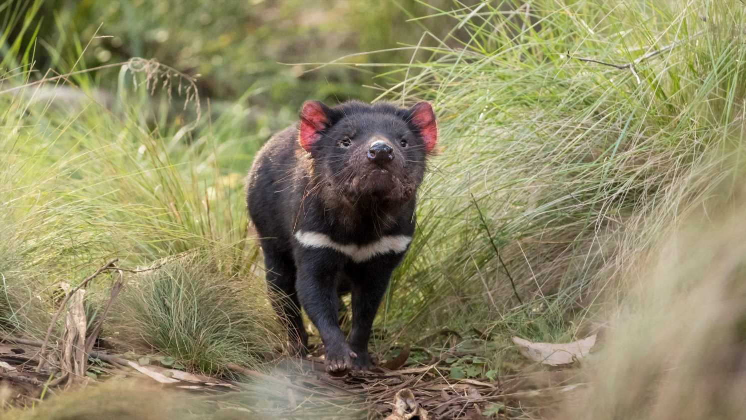 'A special kind of baby boom': Tasmanian devils born in mainland Australia for first time in 3,000 years