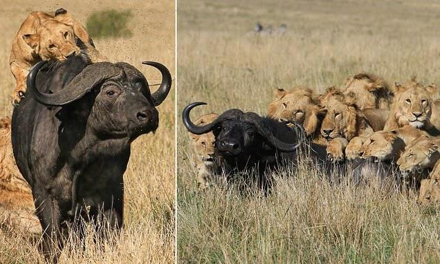 I'll have the rump steak: Images capture lions downing buffalo
