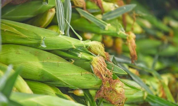 When to plant out sweetcorn – expert tips for delicious sweetcorn