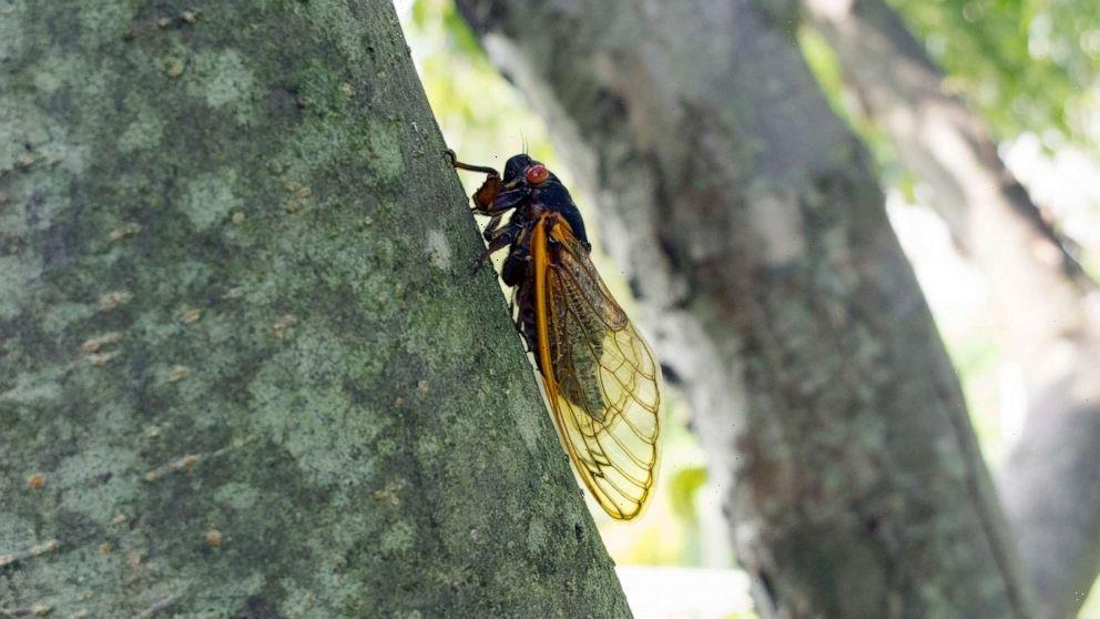 Amorous cicada blamed for causing car crash in Cincinnati