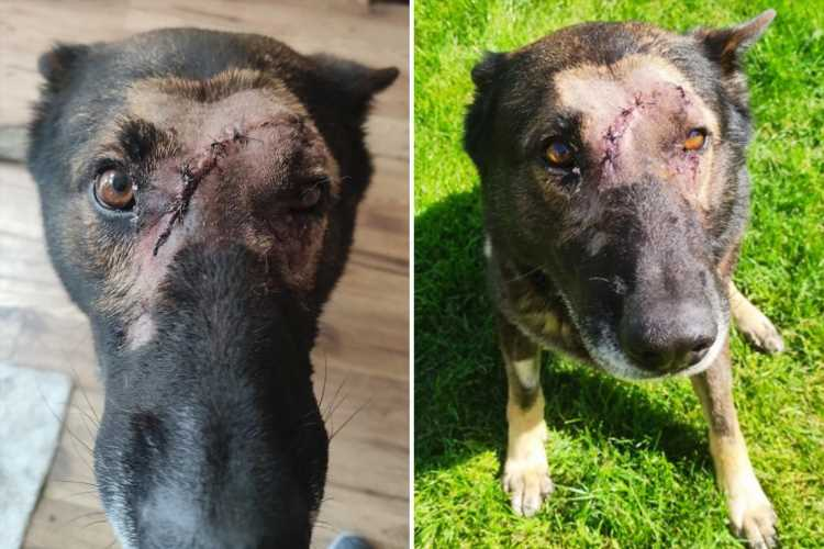 Hero police dog Kaiser stabbed five times in the head tackling knifeman who broke cop's wrist