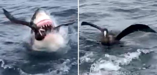 Shocking moment Great White shark swallows bird whole as it bobs on water completely unaware of danger