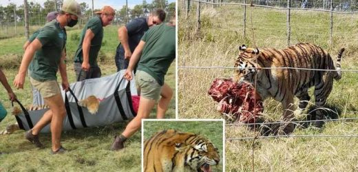 Zookeeper mauled to death by Siberian tiger after ferocious beast scaled 12ft electric fence while it was turned off