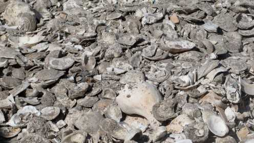 Diners' discarded shells help establish new oyster colonies