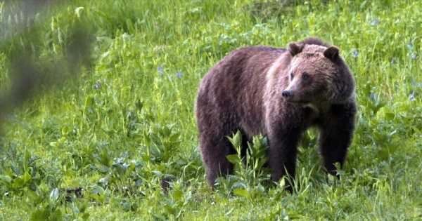 Grizzly bear still on the loose after pulling woman from tent, killing her in Montana; victim identified as nurse from California