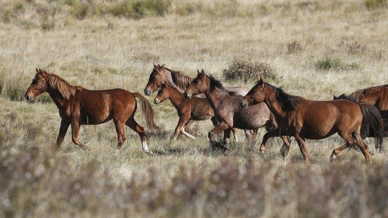 Shooting of Kosciuszko's feral horses should be among options: scientific panel