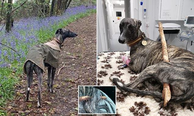 Whippet puppy undergoes surgery to remove 2ft tree branch in leg