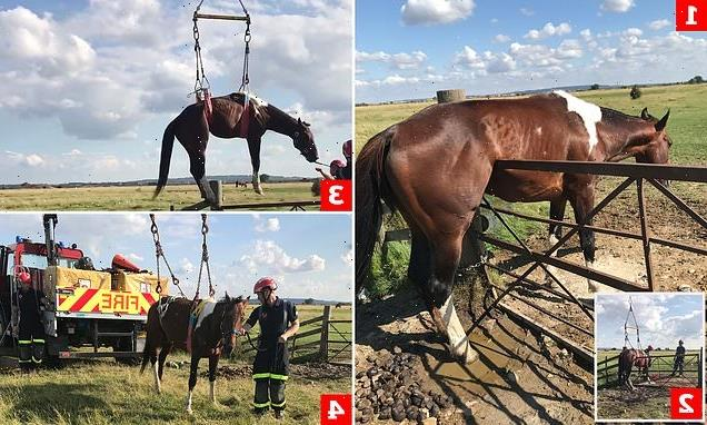 Amorous stallion gets stuck on gate trying to reach mares in field