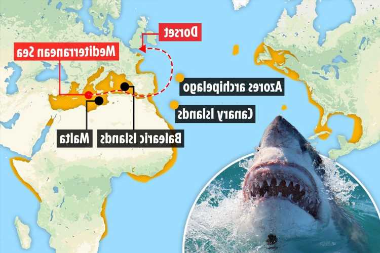 Dorset 'shark' sighting will be first of DOZENS this year as beasts head for Britain due to climate change, experts fear