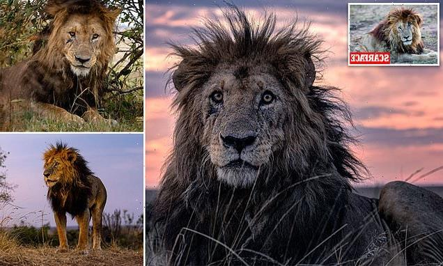New Scarface: Lion, 14, takes title of oldest big cat in Maasai Mara